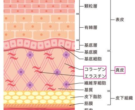 0円アンチエイジング〜老化の原因3エラスチンコラーゲンの重要性について